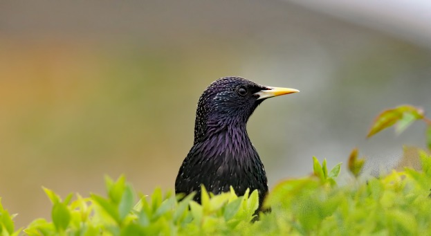 free_starling